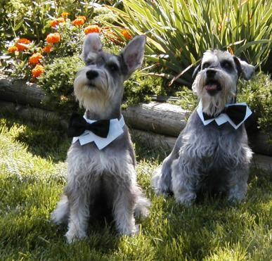 dogs dress up for wedding