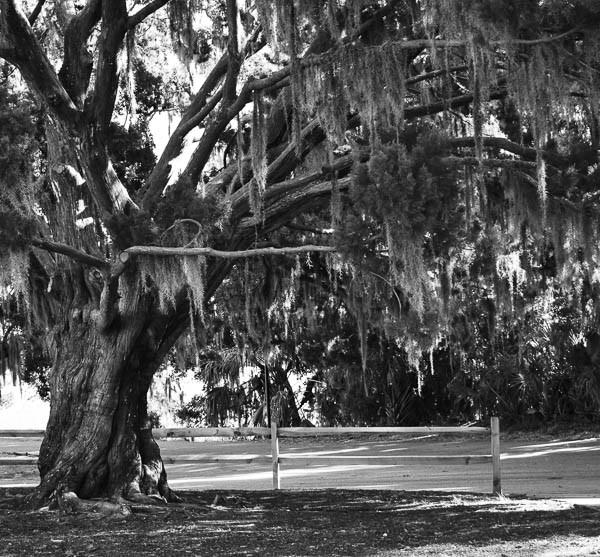 wedding ceremony under a mossy tree beaufort sc