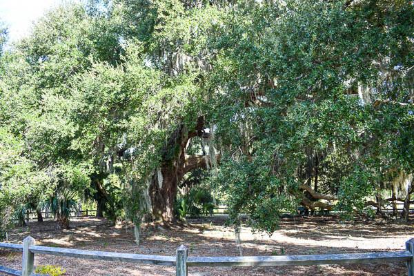marry under la mossy tree in hilton head sc