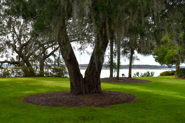 two become one tree in bluffton sc