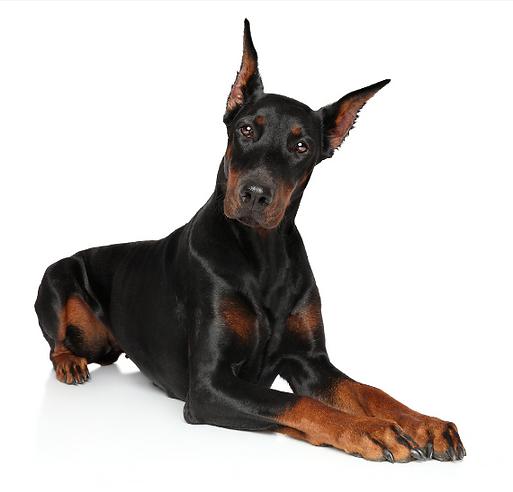 Screenshot_2021-03-03 Doberman dog lying