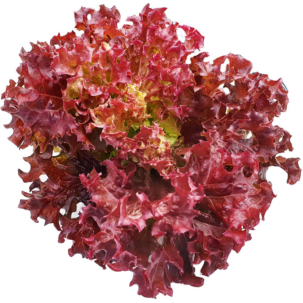 ผักเรดคอรอล (Red Coral Ravita)