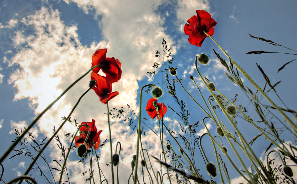 Poppies under the Bavarian sky seen from a beetle's perspective