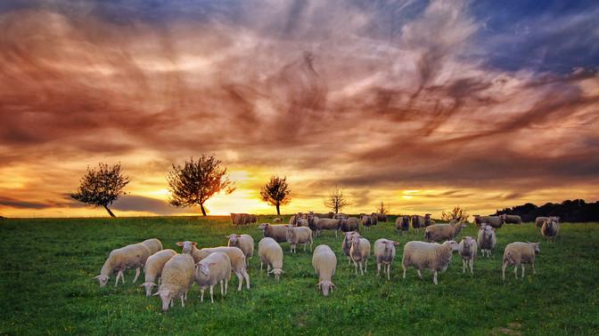 Sheep Flock at Sundown