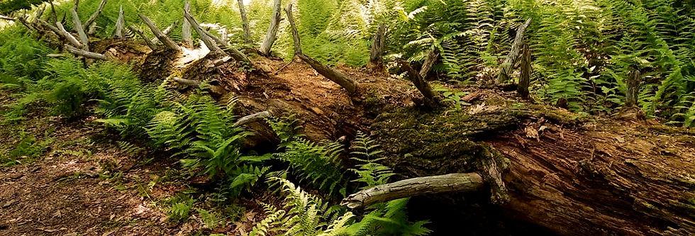 Ferns_on_Tree_edited_edited.jpg