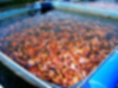 This Picture show Red Tilapia culture in