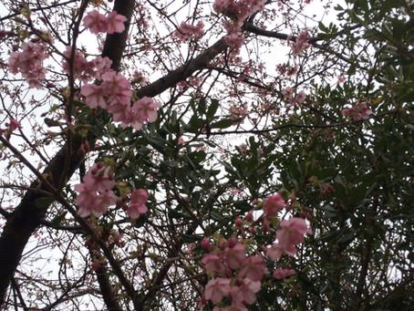 河津桜の美
