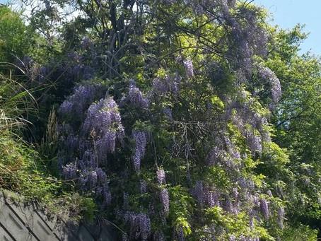 藤が美しい季節