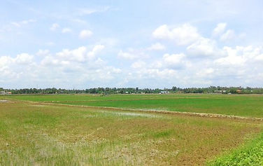 Very large rice Paddy in Vietnam