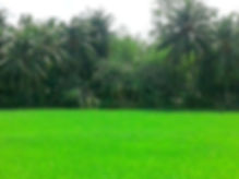 Rice landscape with palm trees in Vietnam