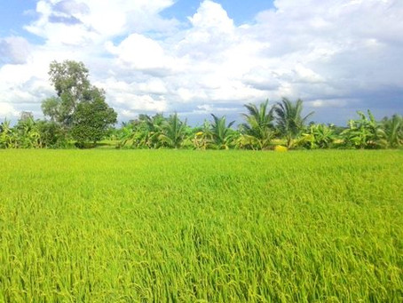Importance of Rice - The Savior of Many Nations
