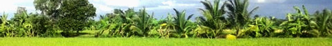 Paddy field with bananas trees