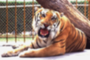 Mike the Tiger.jpg