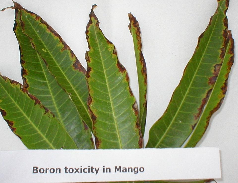 Boron (B) toxicity