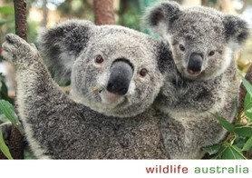 Wildlife Australia (Koala and young)
