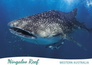 Ningaloo Reef Western Australia Whale Shark PC201