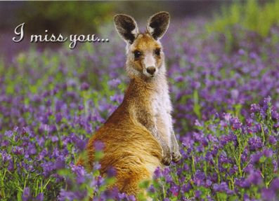 I miss you... (Kangaroo Australia)