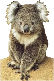 Koala (Shape Postcard) PC187