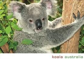 PC157 koala australia