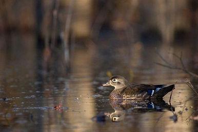 wood-duck-female-600x400.jpg