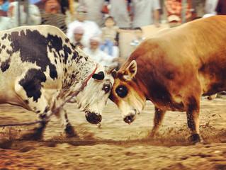 Bull Butting in Fujairah