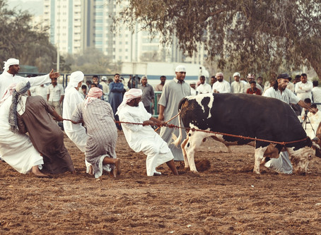 Bull Butting in Fujairah