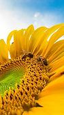huge sunflower.jpeg