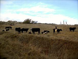 cows december 2013.jpg