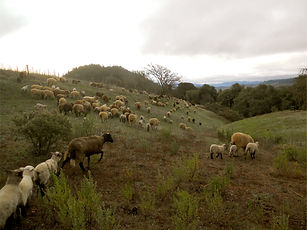 sheep herding 1.jpg
