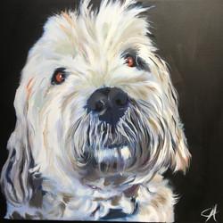White Yorkshire Terrier Dog IMG_5590
