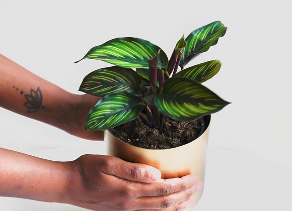 Calathea Ornata Beauty Star