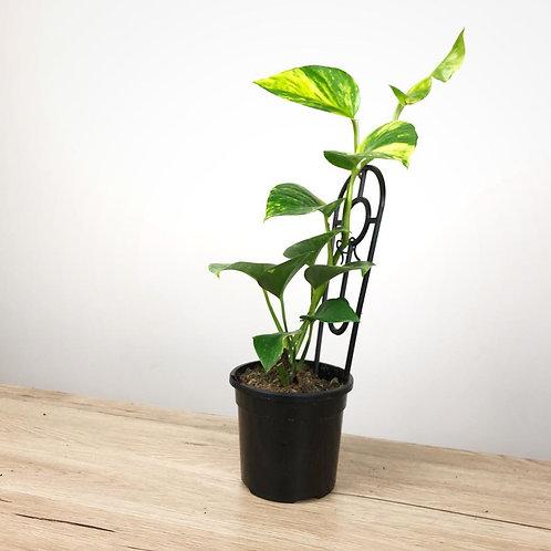 Epipremnum Aureum - Devils Ivy