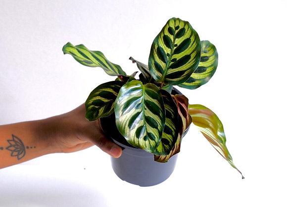 Calathea Makoyana Peacock Plant