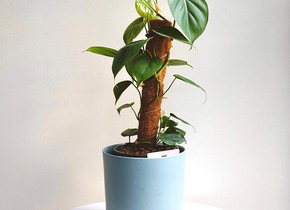 Philodendron Cordatum Heart Leaf