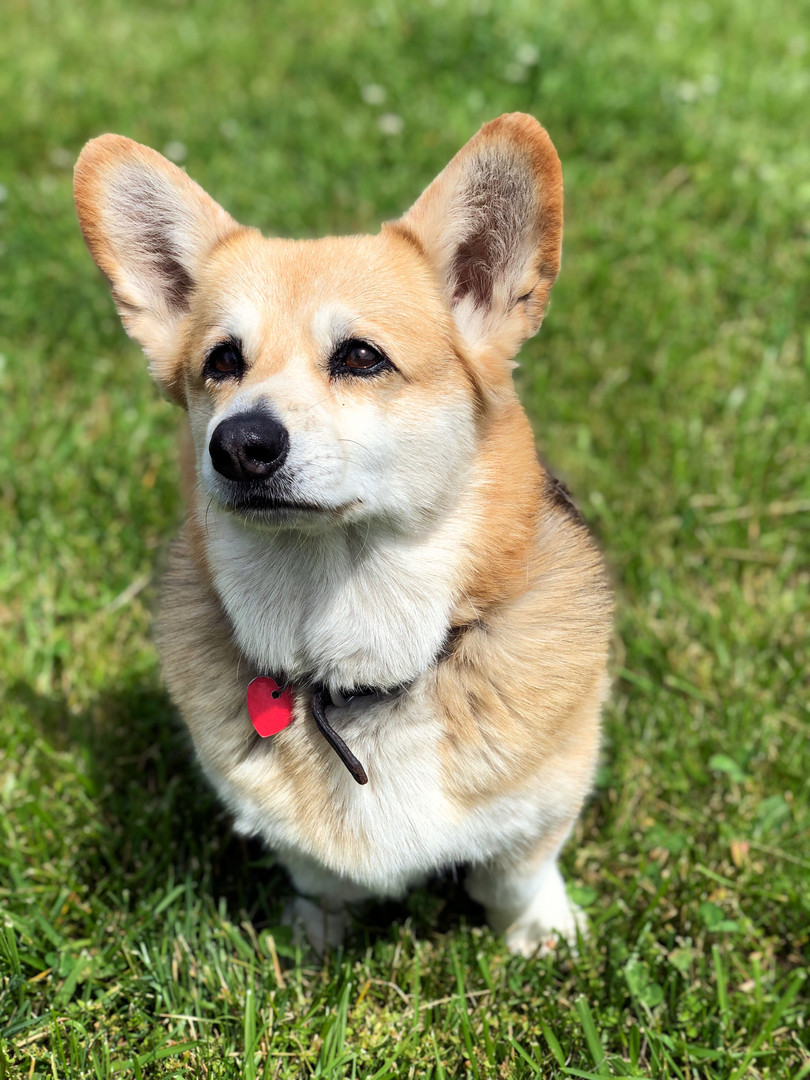 Ginny the Corgi Logan's Brook New Vernon NJ