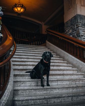 Bear - Canine Ambassador