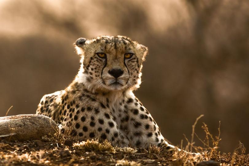 Cheetah at sunrise by Gerard Mathias