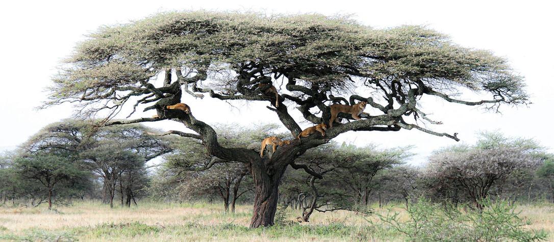 L'arbre aux lions by Jacques Culembourg