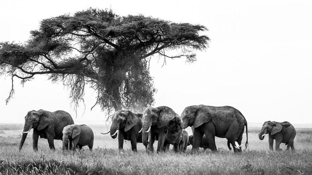 Aigrette et elephants by Jacques Culembourg