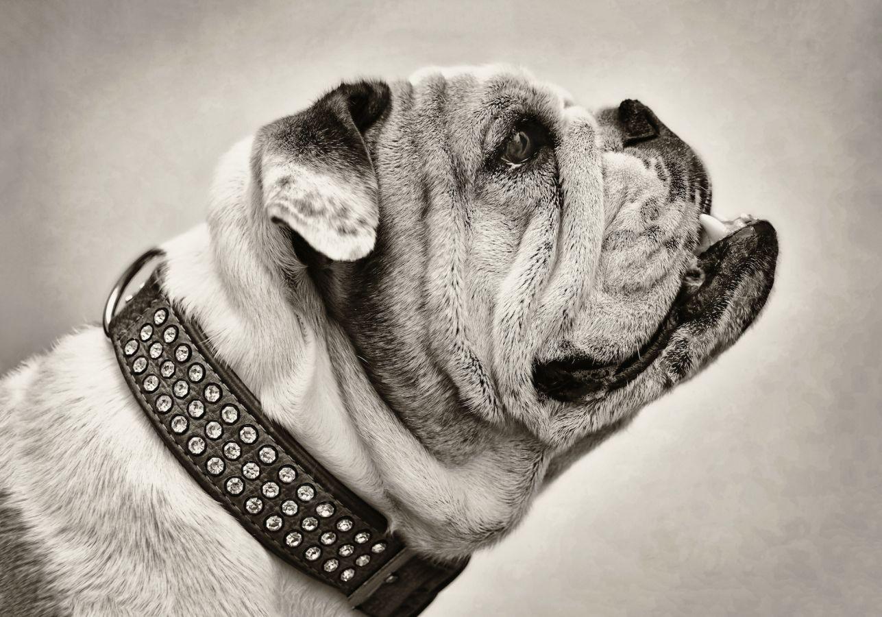 Profil de chien