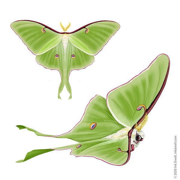 Danza Davis Luna Moth_sm.jpg