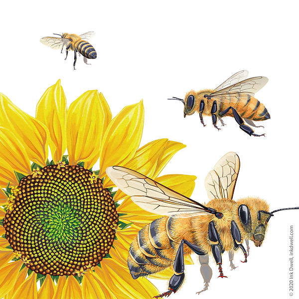 Danza Davis Sunflower Bees_sm.jpg