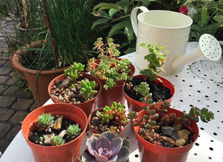 Succulent Propagation - How to grow succulents