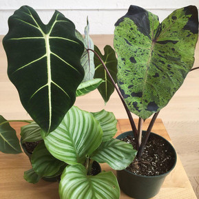 Picky Plants #1 -  Alocasias (Elephant ear plants)
