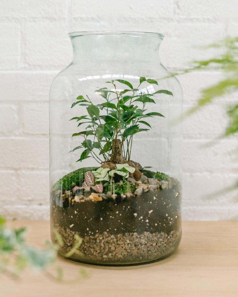 Bonsai (Ficus tree) terrarium