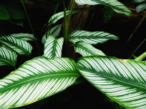 Picky Plants #2 - Calatheas