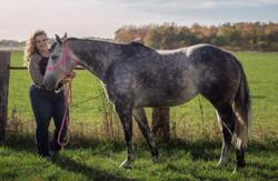 Shesa Special Beau - 2012 Grey Mare