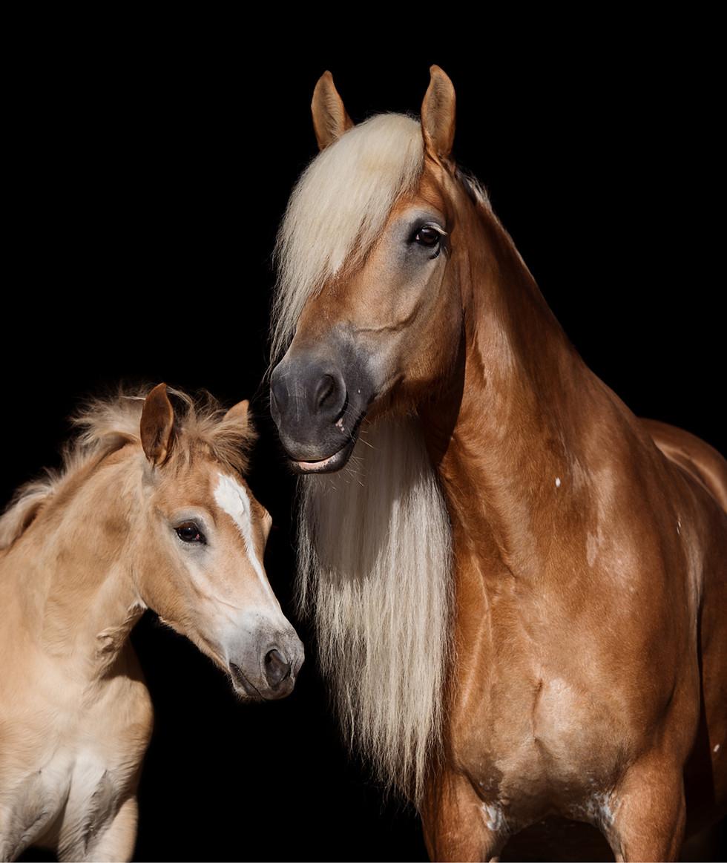 Brunnmeier Fotografie Pferde Haflinger