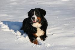 Koko liegt im Schnee