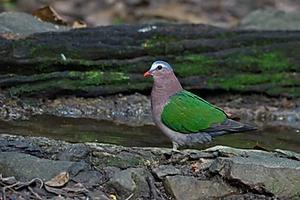 Emerald Dove at Kaeng Krachan NP